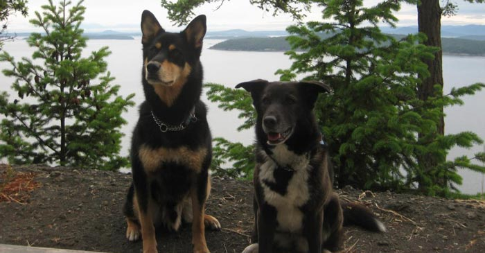 Pearson (husky/shephard) on the left, and Niki is the brown and white dog (border collie/chocolate lab rescue) on the right