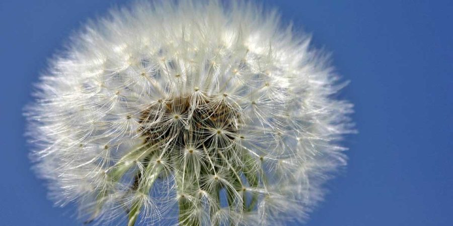 A close up of a dandelion ready to spread it's seeds.
