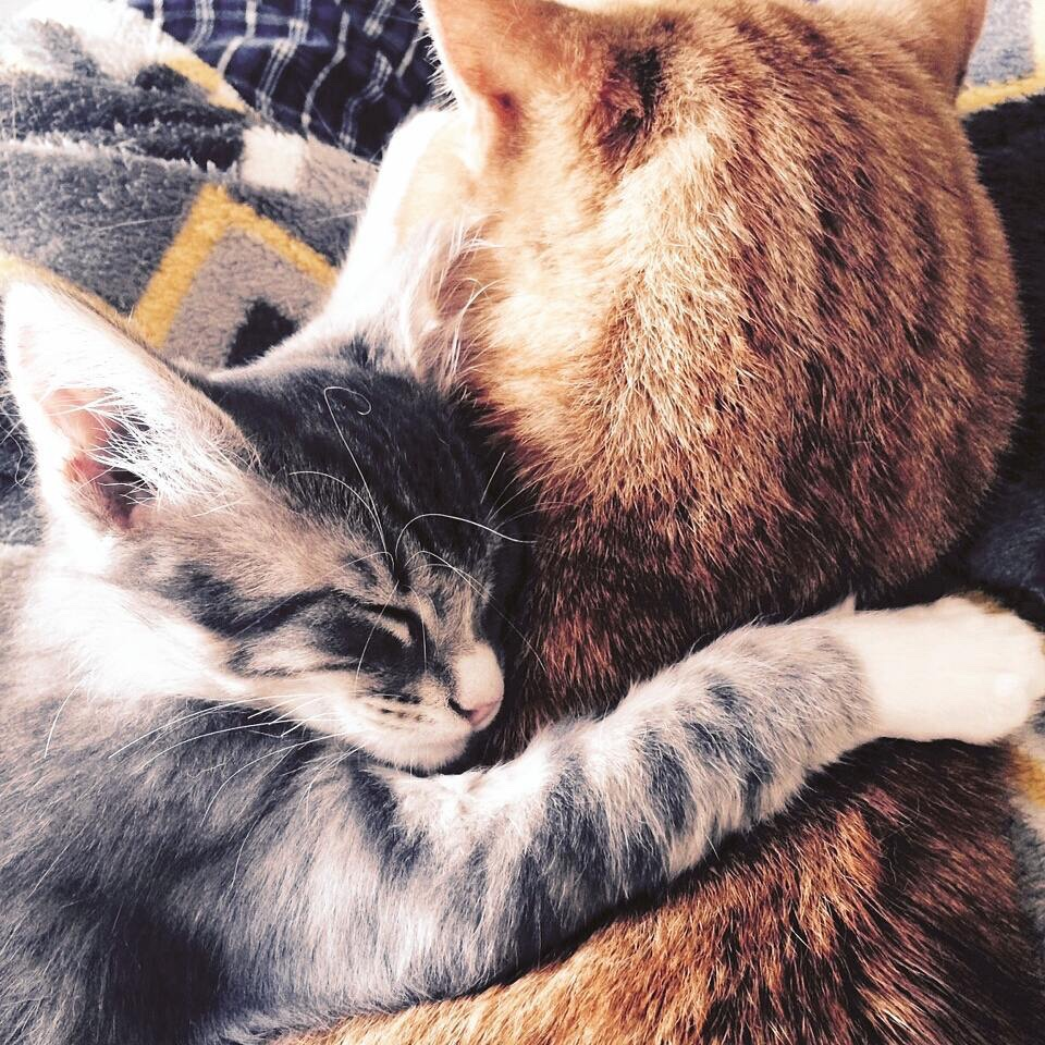 A grey kitten with its paw over an orange tabby's back.