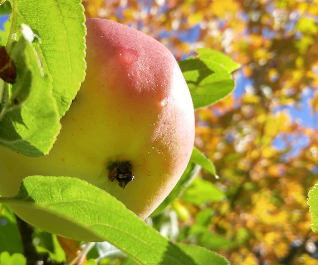 A ripe apple hangs from a backyard apple tree in Victoria, BC.