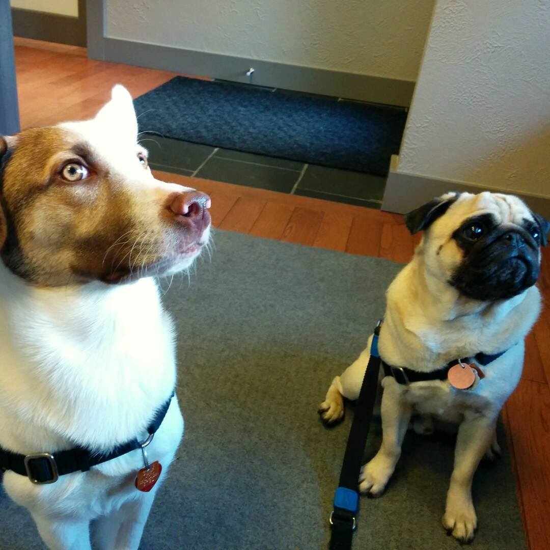 A tan and black pug and white and ginger medium-sized herding dog sit in the clinic, staring intently at something behind the camera.