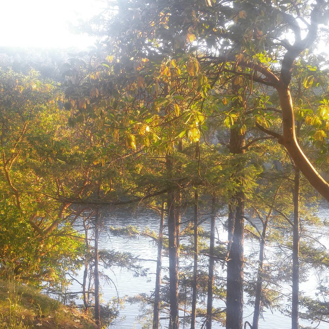 Golden light on the arbutus trees, with the water of Thetis Lake shining in the background.