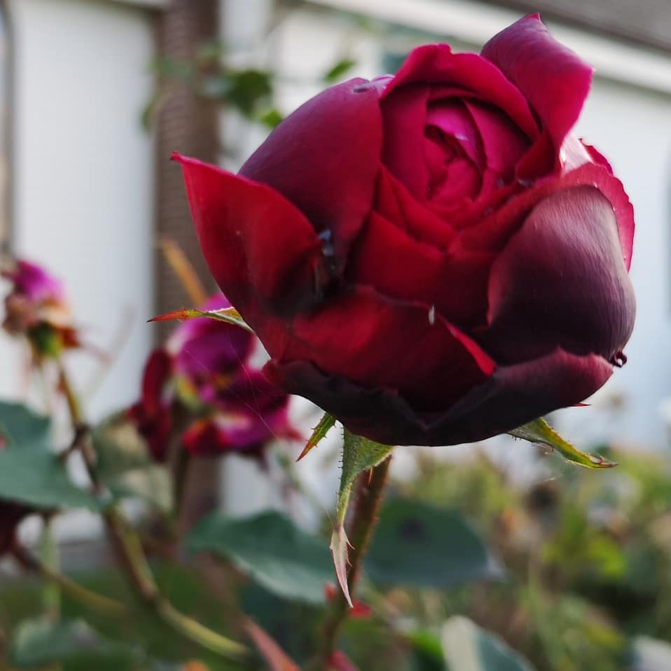 A red rose is in bloom in November on Vancouver Island.