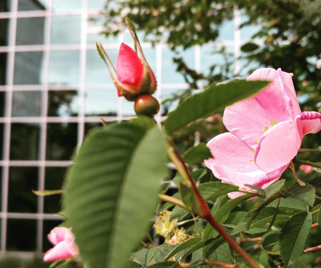 A macro shot of a light pink wild rose, with a darker pink bud out of focus in the foreground. Beyond the rose bush is the glass wall of a building, reflecting trees and a cloudy sky.