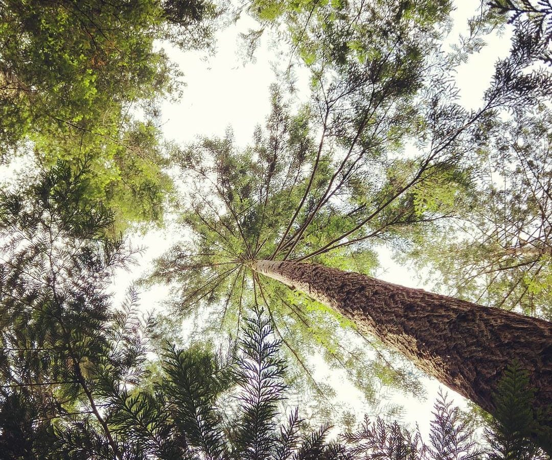 A photo taken straight upwards of a tree canopy, with green foliage far above and a white sky beyond.