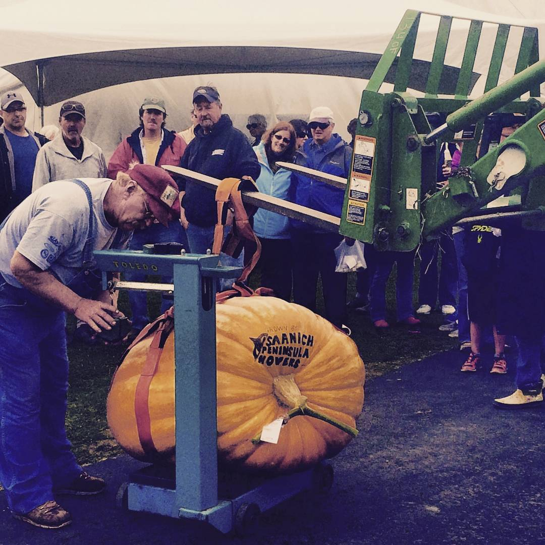 "A very large orange punpkin with ""Saanich Peninsula Movers"" printed beside the stem in black is being weighed on a large scale outside. There is a crown watching, and the man doing the weighing is in jean overalls and a red cap."