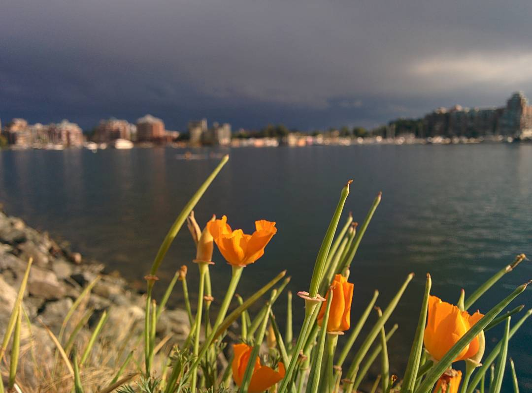 In the foreground is a clump of orange blooming flowers with tall green stems interspersed between them. The flowers are in focus. The background is out of focus and is a body of water with a blurry downtown and trees on the other side.
