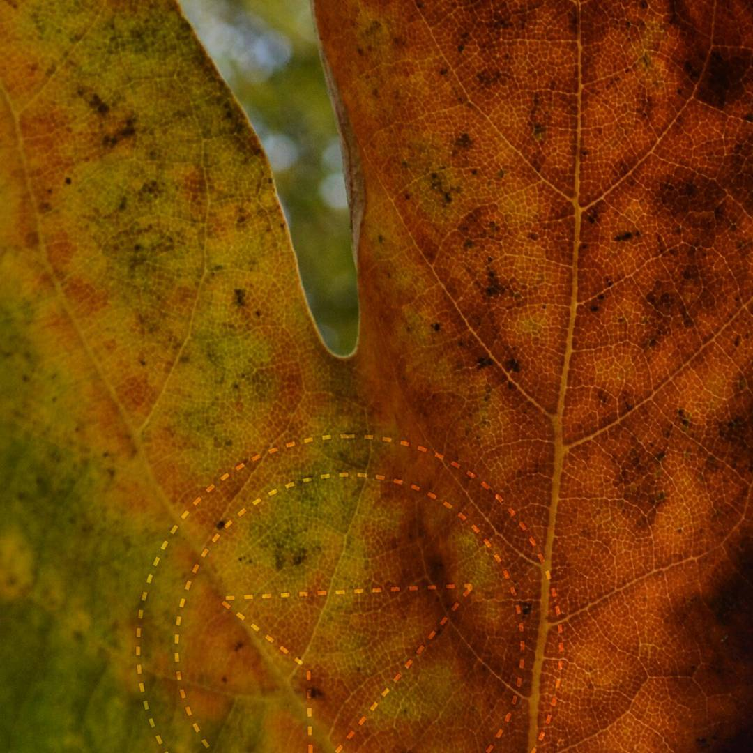 A close up of a maple leaf. We cannot even see the whole leaf, but only the center part of two of the sections that branch off. The veins are visible and it fades from brown and orange on the right to green and yellow on the left. In between the two upper sections we can see very out of focus trees and sky, and the latter is seems bright and grey.