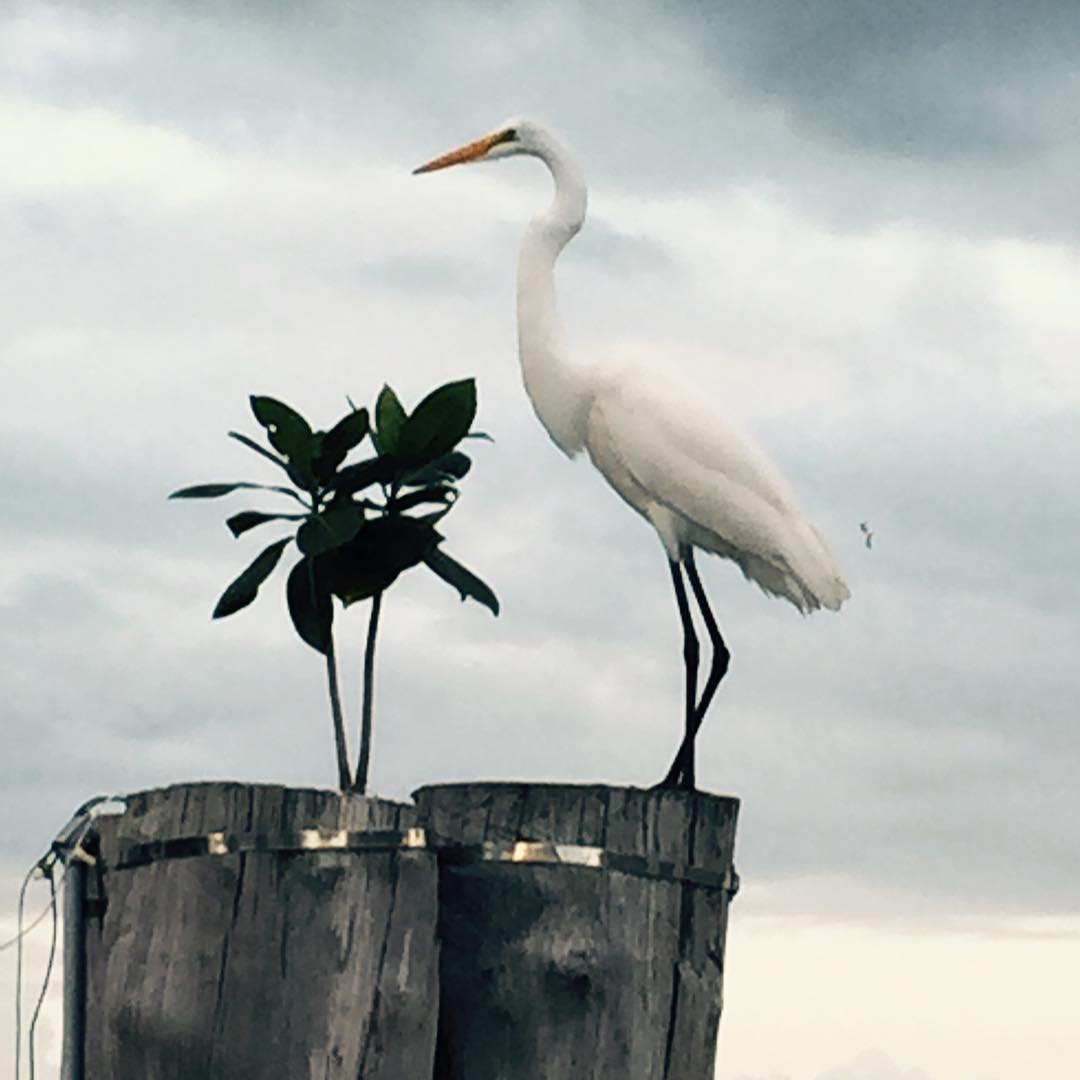 A tall white bird with black legs is standing on two wooden posts with a green leafy plant growing on them to the left in front of the bird. The background is sky and it is grey and cloudy.