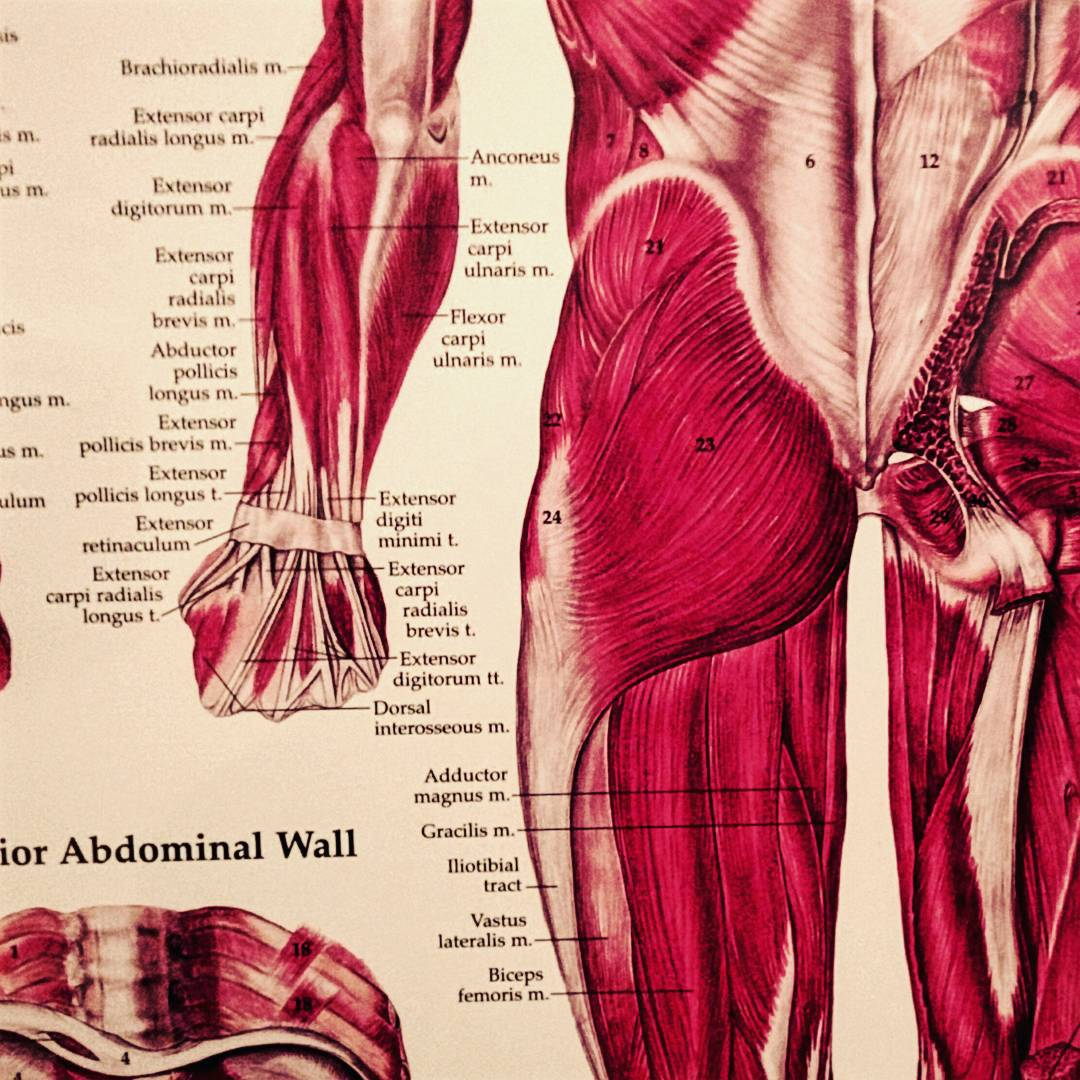 A poster of an anatomical diagram. The diagram shows the muscles, which are labelled in Latin, of the Gluteus Maximus, The forearm and hand, and the abdominal wall. The butt and arm are on the right and the abdominal wall is on the lower left.