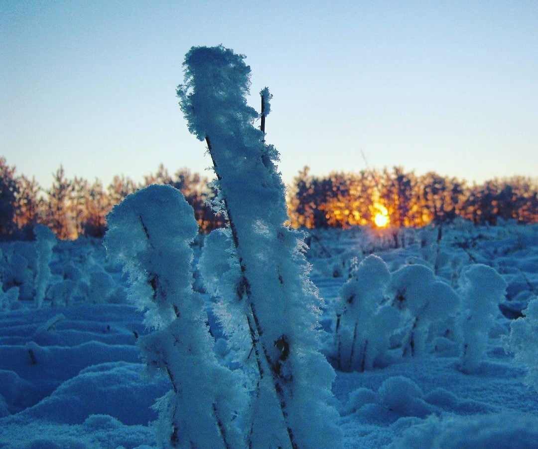 A close up of a brown reed or stem in a field of similar plants frosted over with a thick layer of snow and ice. The whole field is likewise snowy, and the rising sun is shining through leafless trees in the distance.