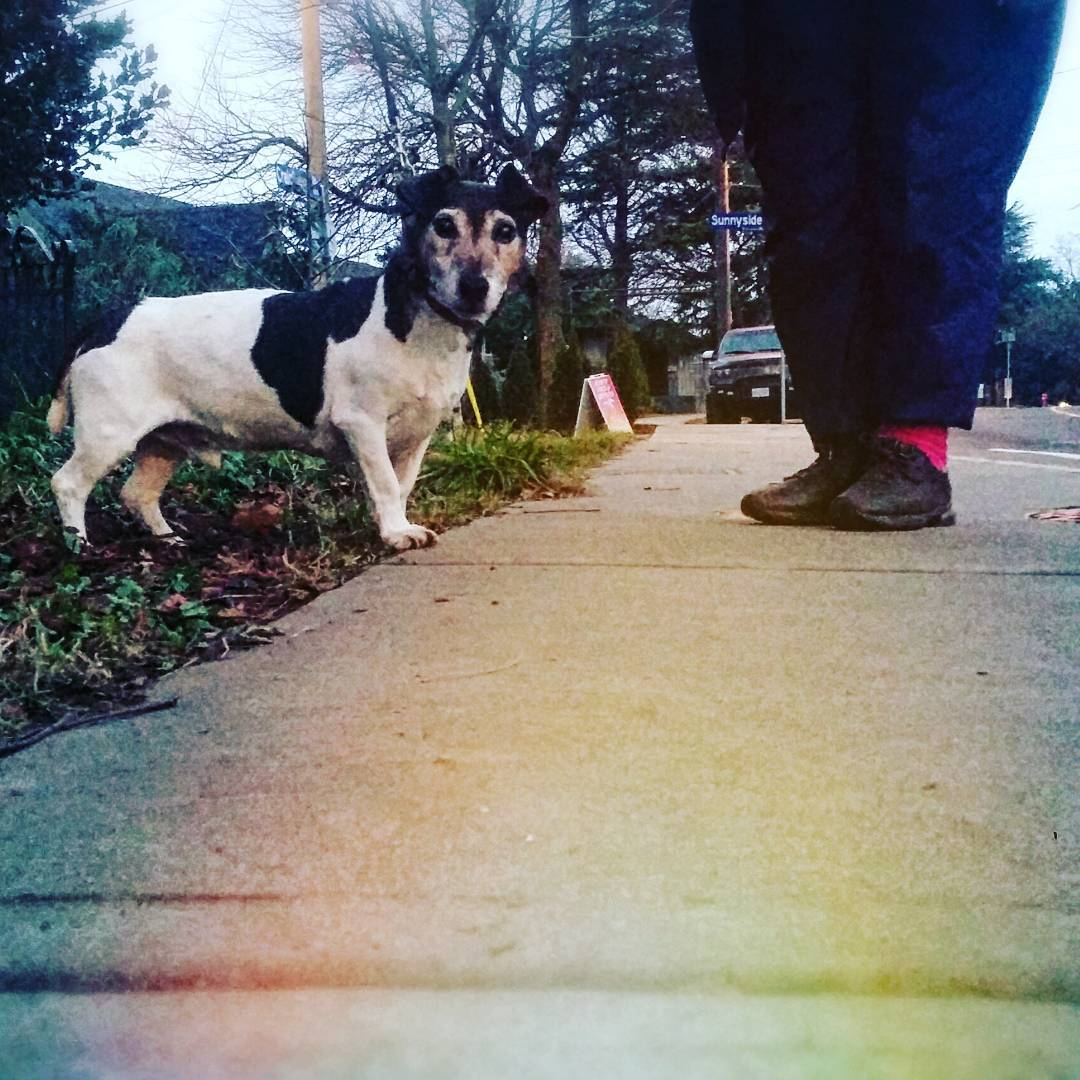 A small black and white dog is looking at the camera from the left and standing on the grass beside a sidewalk. On the right are a pair of legs, which we can see up to the upper thigh. In the background is a light sky and there are also some evergreen trees.
