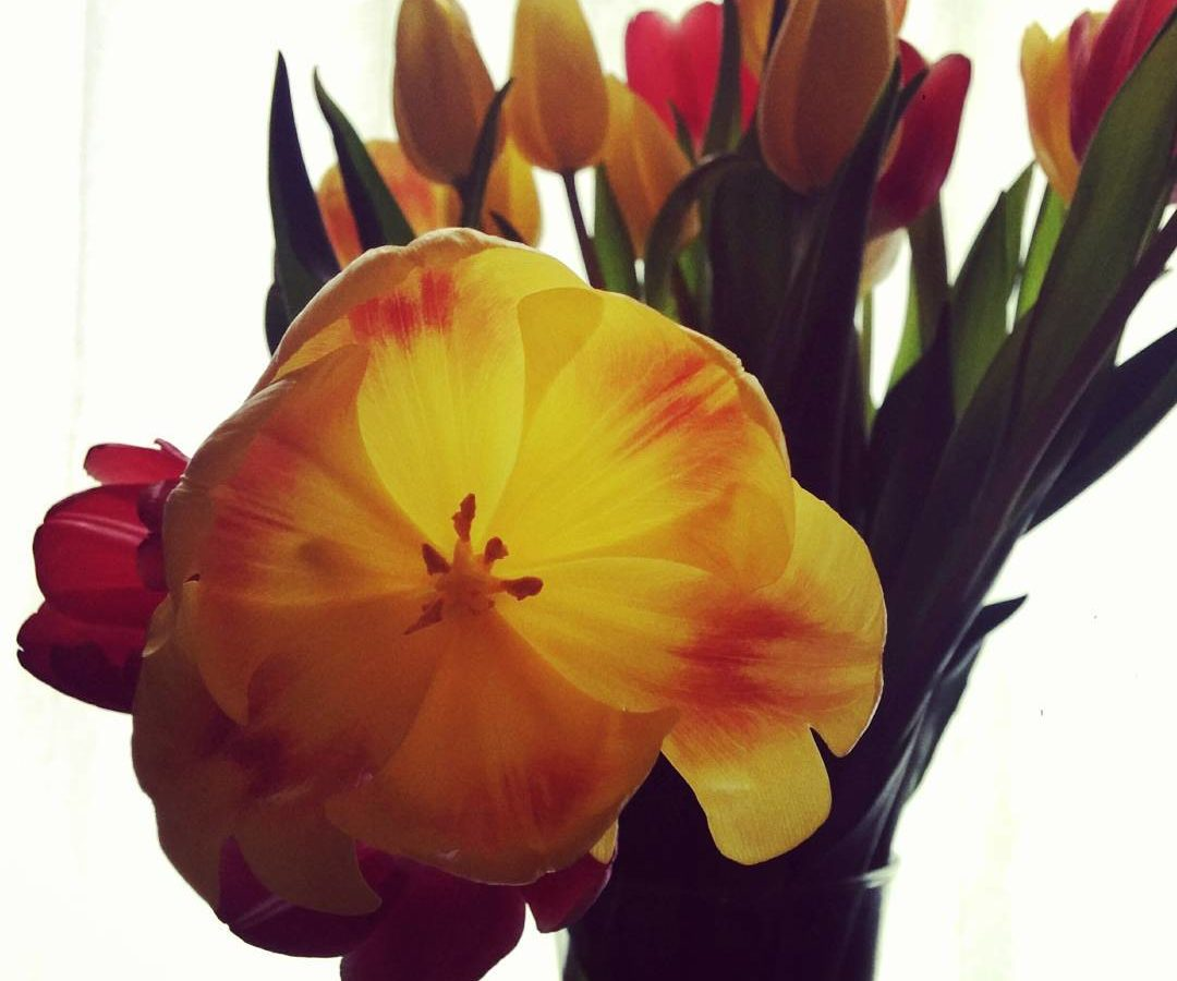 A bouquet of yellow and red tulips in a glass vase, which we see only the top of, set against a white background. Slightly left of center is the focus of the picture, which is a yellow blossoming tulip. It is sticking out from the others and bent to that the center of the flower is facing the camera. It is bright yellow with a small patch of red on each petal.