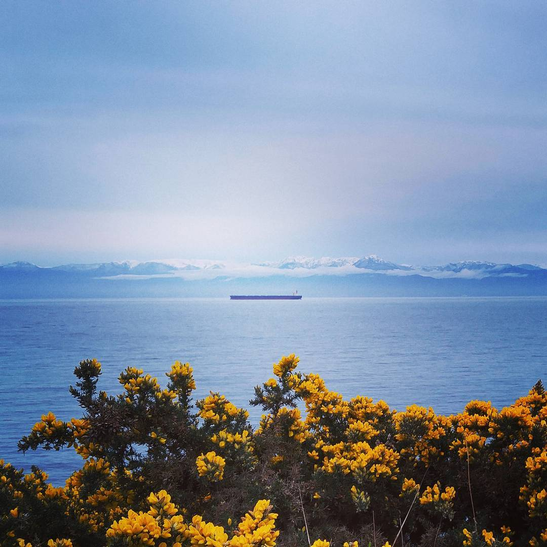 In the foreground there is a large bush of broom, which is a plant with small bright yellow flowers and dark green foliage. Past the brook is a large expanse of ocean with a large tanker ship in the center in the distance. On the other side of the water there is a snow covered mountain range. The sky is dark and grey.