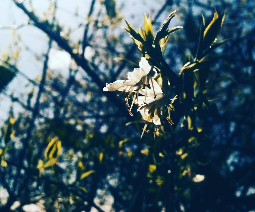 In focus are two white flowers in bloom, which are growing on a branch covered with small green leaves. Out of focus in the background is an array of the same branches and leaves, which are set against a clear blue sky.