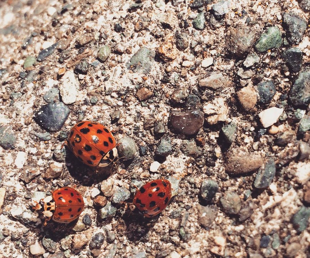 Three lady bugs are on the lower left on a sunny patch of gravel.