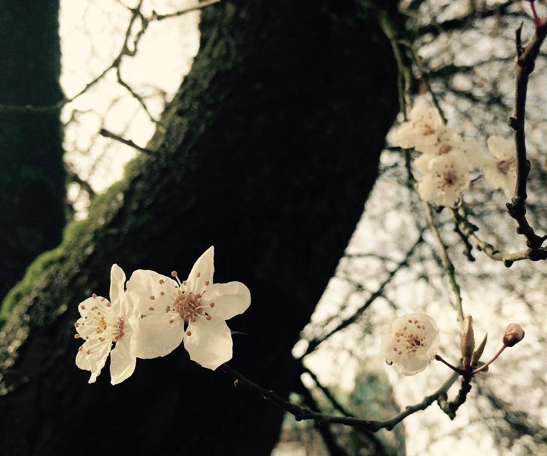 A photo of cherry blossoms with the trunk in the background to the left.