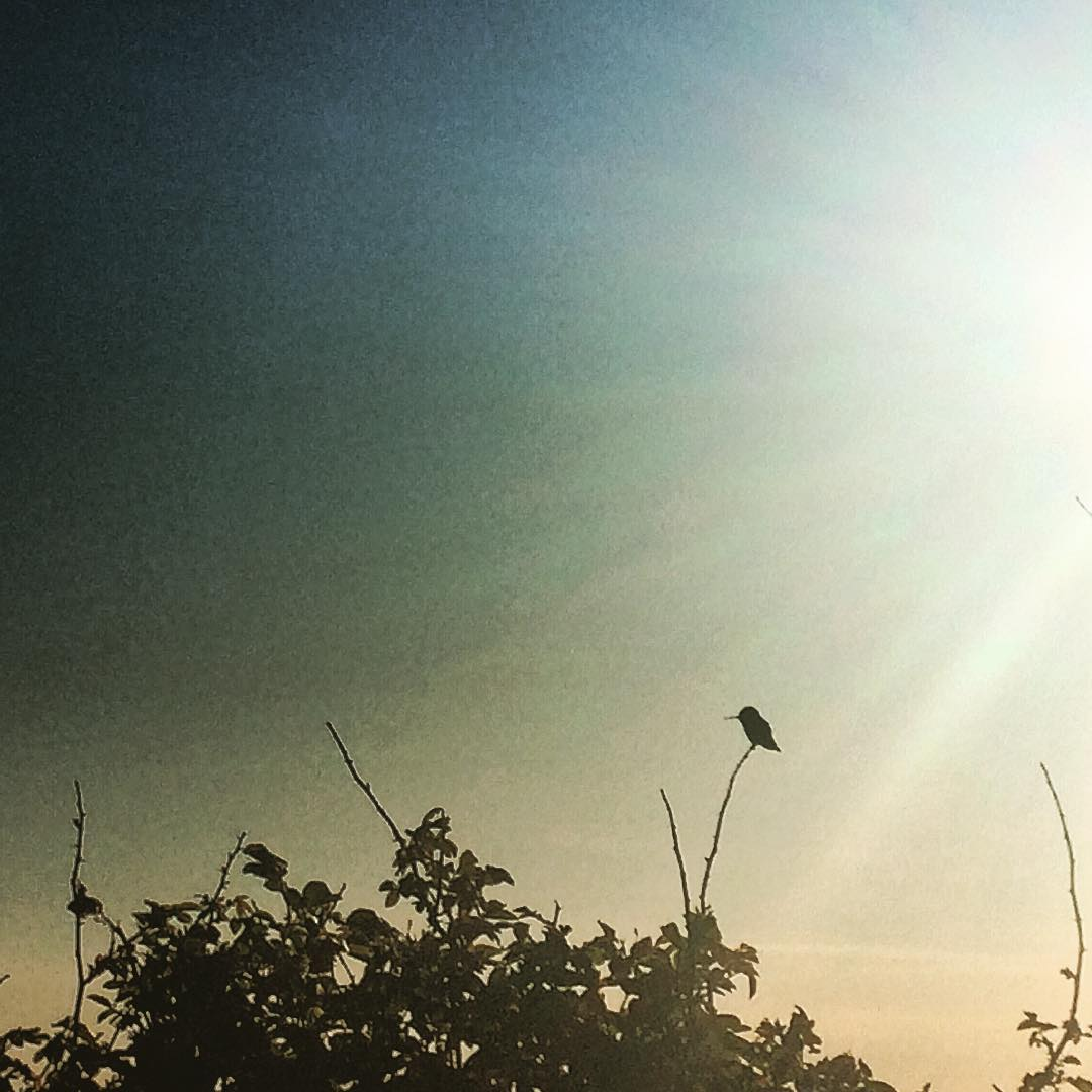 The sun is coming down from the right to catch a humming bird perched on the thin branch of a leafy bush.